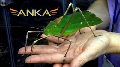 En İlginç Böcekler; Dev Katydidler