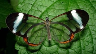Transparan Kelebek